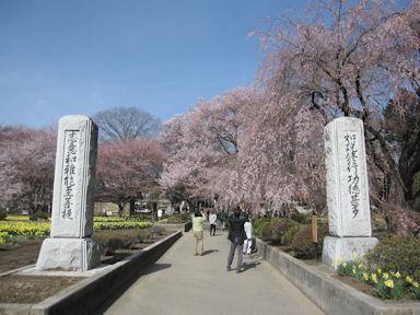 Yamataka_jindai_zakura20120413_003