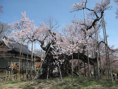 Yamataka_jindai_zakura20120413_008