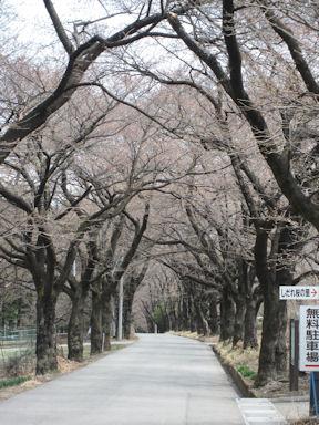 Yamataka_jindai_zakura20120413_012