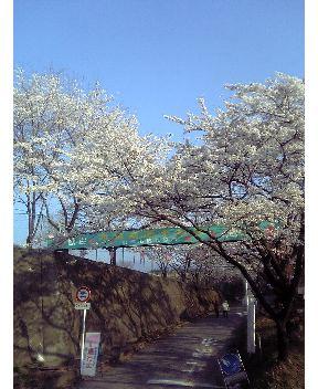 赤城南面千本桜その1