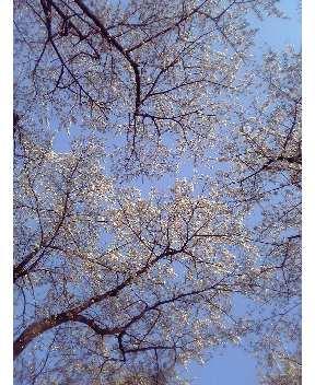 赤城南面千本桜その2