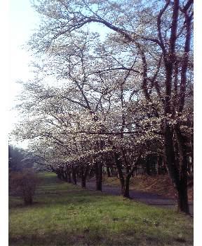 赤城南面千本桜その3